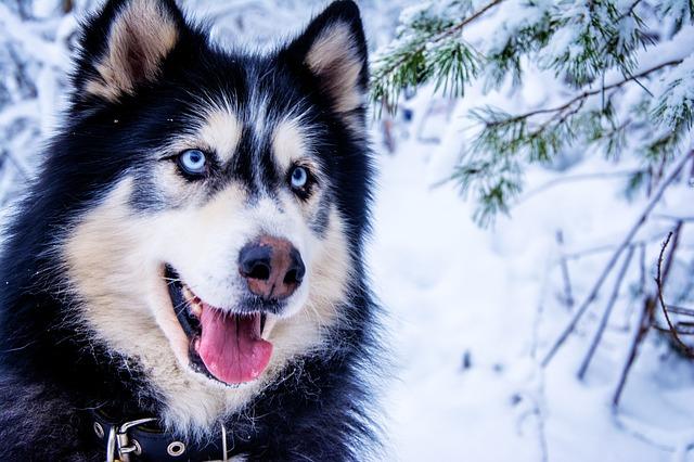 Kutyafajták, amelyek remekül tűrik a hideget akár az udvaron is!