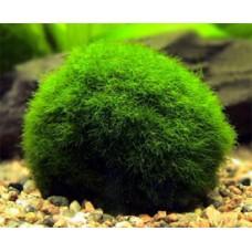 Akváriumi Növény | Cladophora Aegagrophila | Gömbmoha