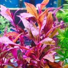 Akváriumi Növény | Alternanthera Sessilis