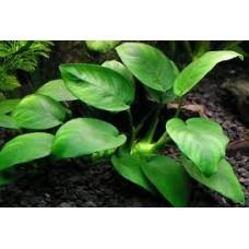 Akváriumi Növény | Anubias Barteri Board Leaf