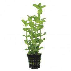 Akváriumi Növény | Bacopa Amplexicaulis