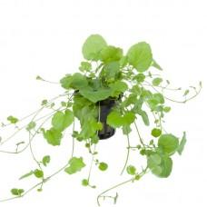Akváriumi Növény | Cardamine  Lyrata| Kínai Borostyán