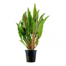 Akváriumi Növény | Cryptocoryne Undulata