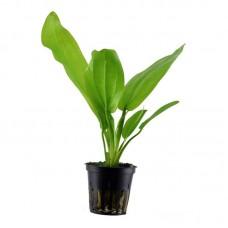 Akváriumi Növény | Echindorus Cordifolius