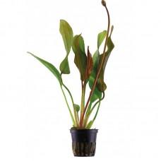 Akváriumi Növény | Echinodorus Red Special