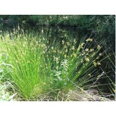 Tavi Növény | Juncus Effusus | Békaszittyó