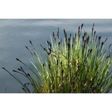 Tavi Növény | Carex Nigra  | Fekete Sás