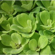 Tavi Növény | Pistia Stratiotes | Kagylótutaj