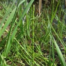 Tavi Növény | Equisetum Palustris | Mocsári zsurló