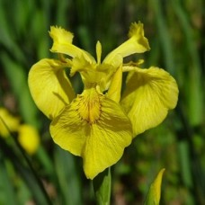 Tavi Növény | Iris Pseudacorus | Sárga nőszirom