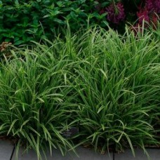 Tavi Növény | Carex | Sás