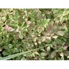 Tavi Növény | Oneanthe Aquqtica | Mételykóró