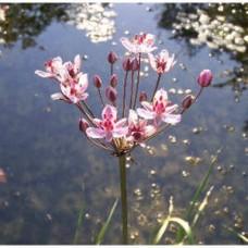 Tavi Növény | Butomus Umbellatus  | Virágkáka